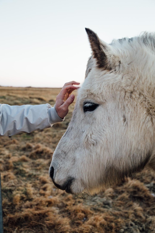 voyager en islande, icelandic horse
