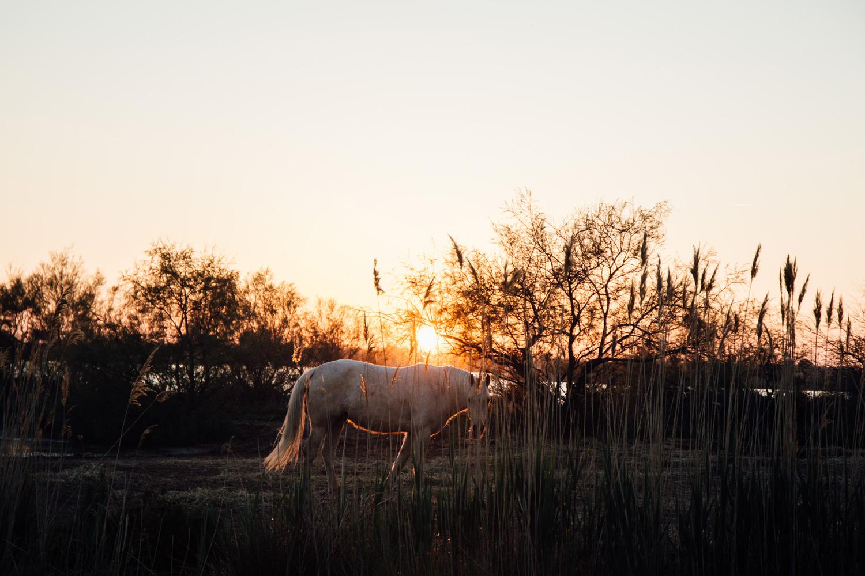 cheval camarguais et coucher de soleil