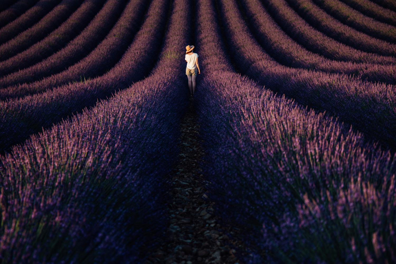 les plus beaux champs de lavande, le plateau de Valensole