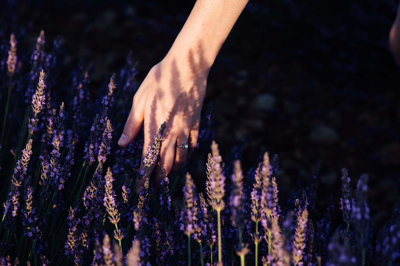 photographier la lavande de Provence au plateau de Valensole