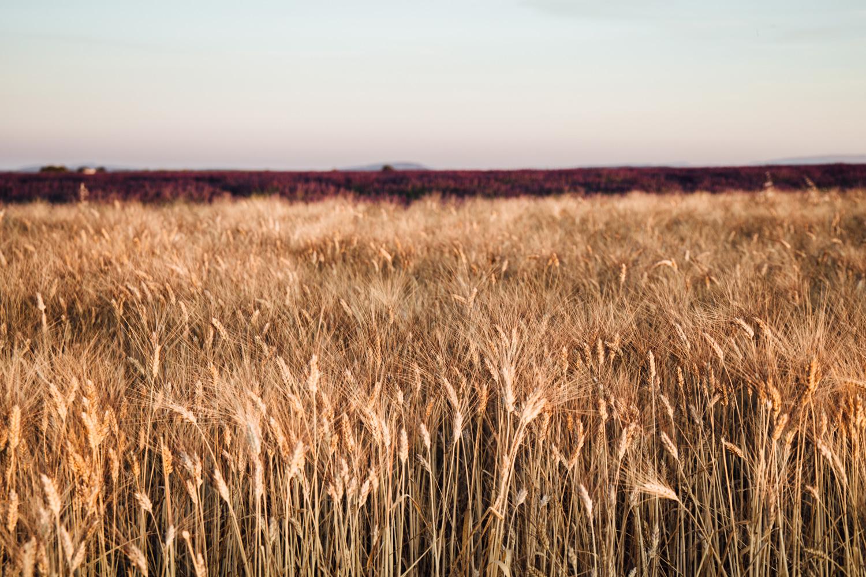 lumière dorée sur champs de blé, plateau de Valensole