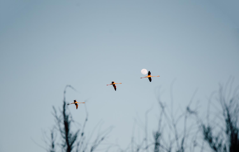la Camargue, vol de flamants roses