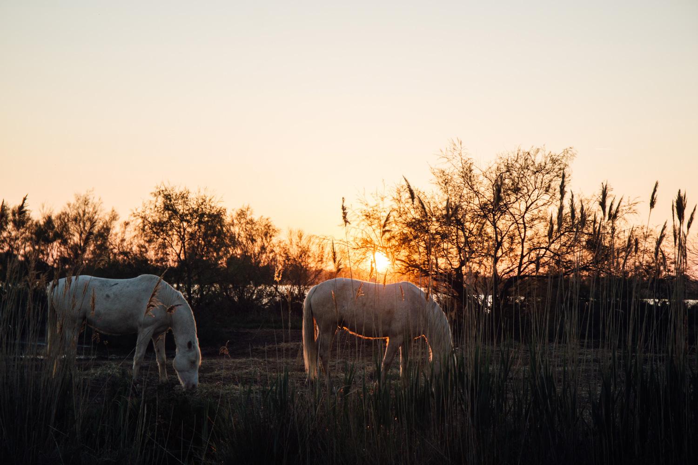 chevaux camarguais et coucher de soleil