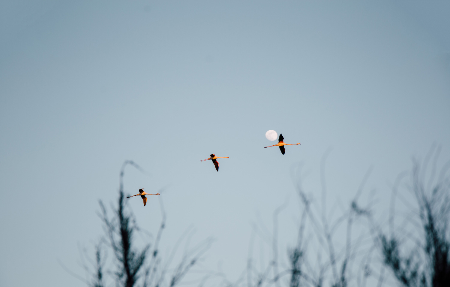 la Camargue, vol de flamants roses