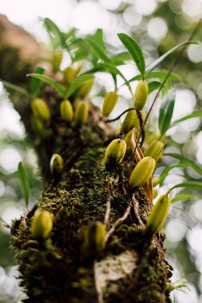 pousse d'orchidée La Réunion