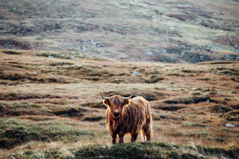 voir une highland cow