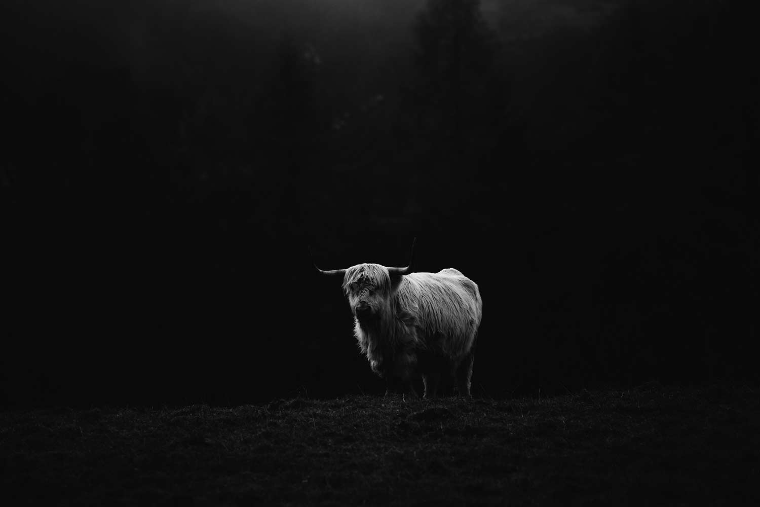 photographier une highland cow