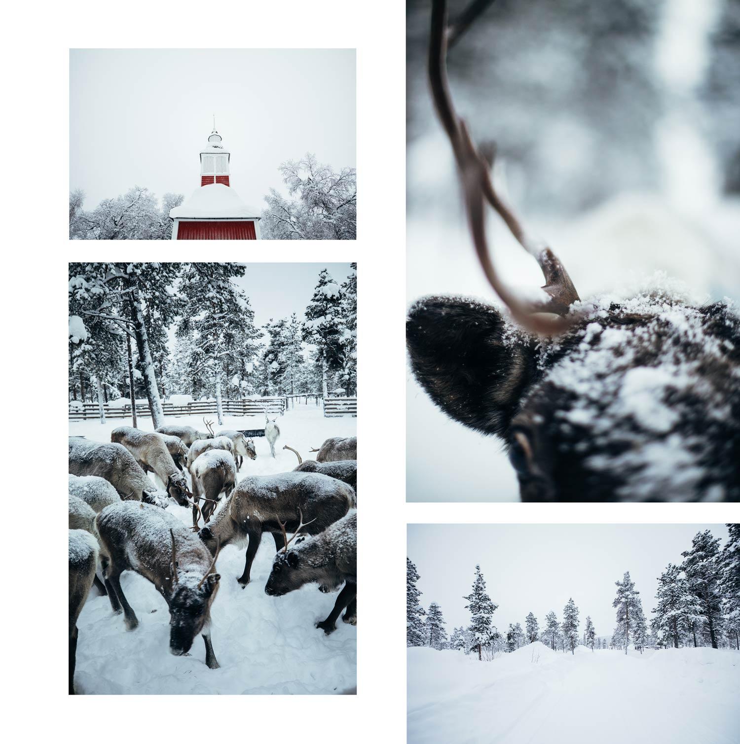 élevage rennes laponie