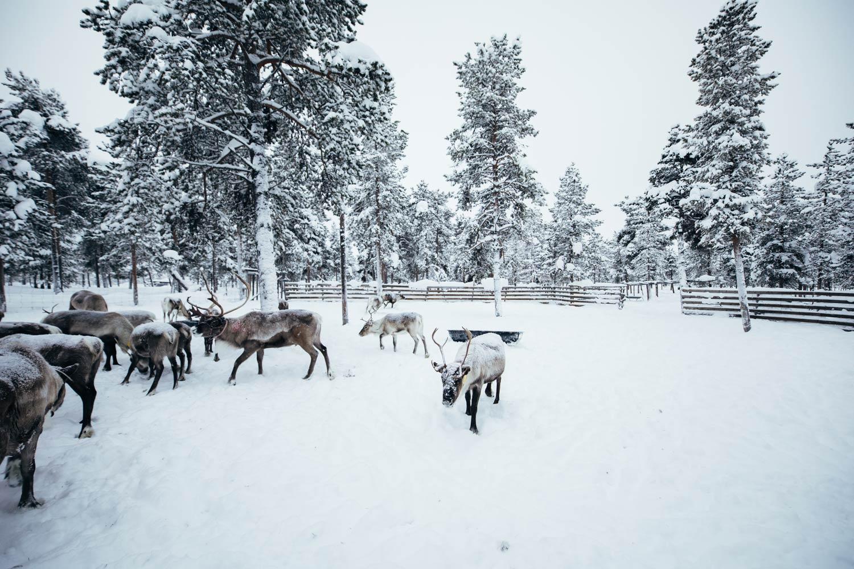 faire du rennes en laponie