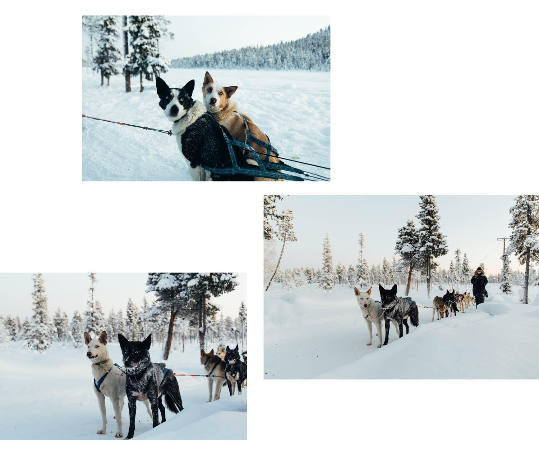 faire du chiens de traineau en Laponie