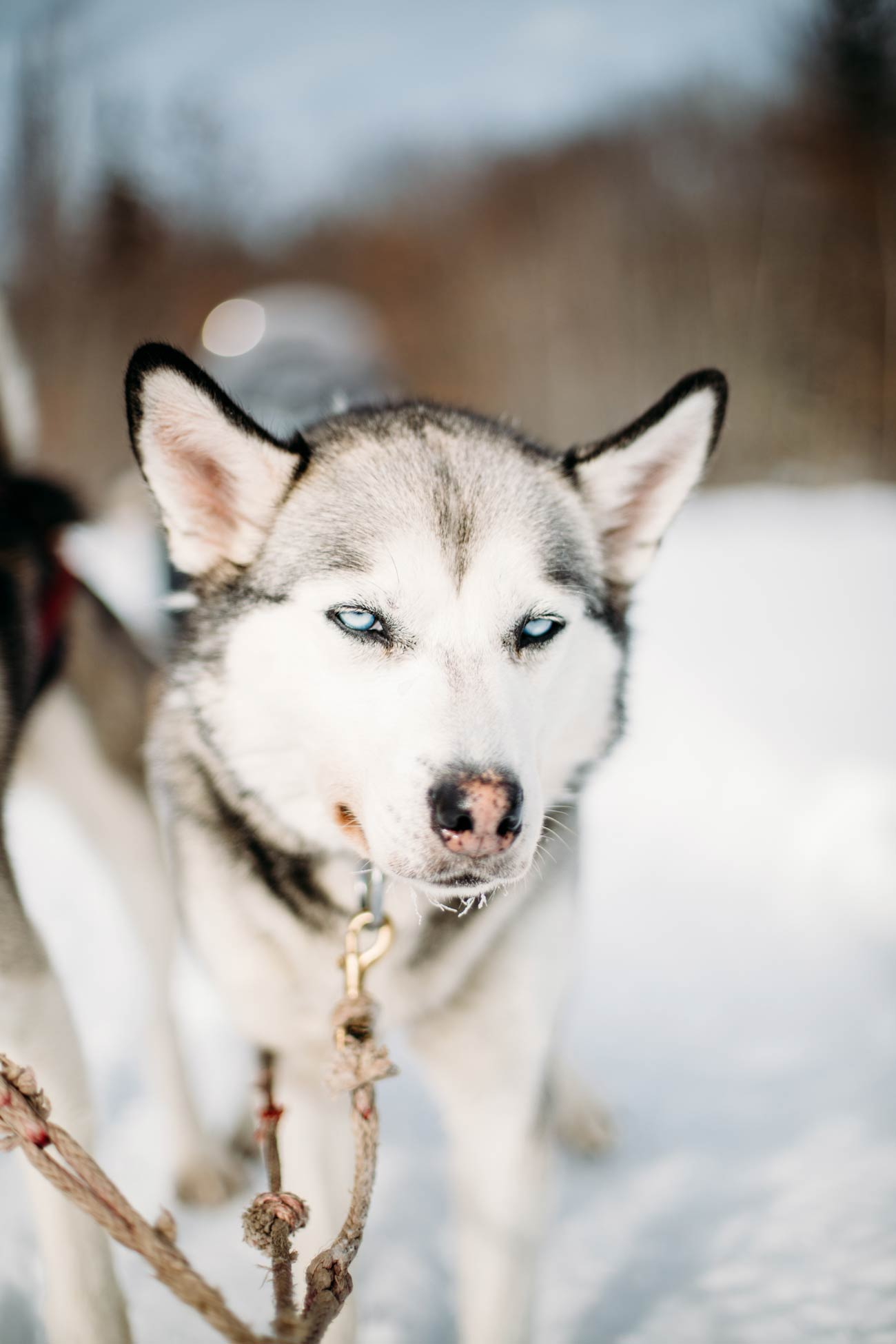 chien de traineau au Québec