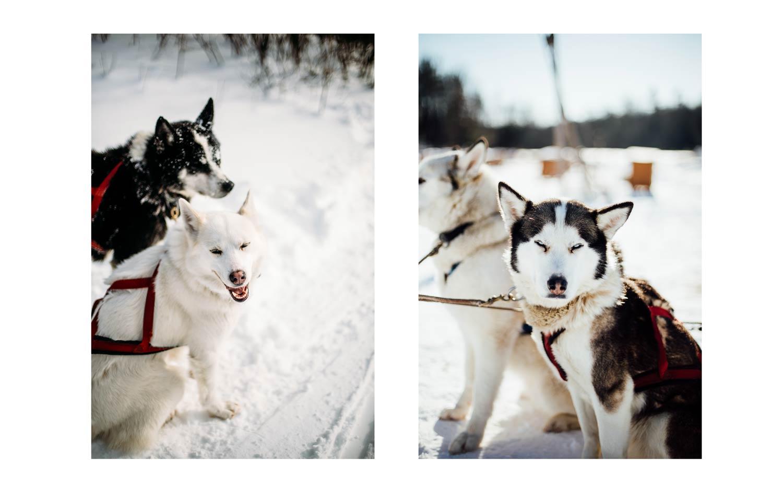traineau à chien éthique au Québec