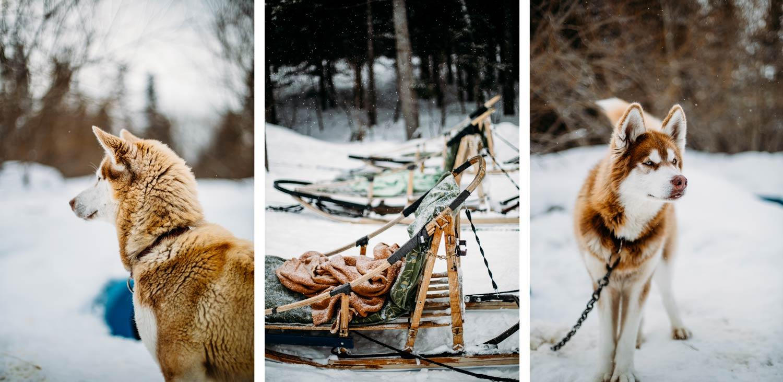 chiens de traineau en Chaudière-Appalaches