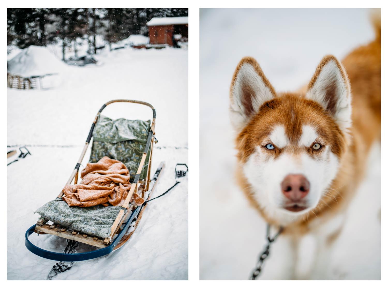 chien de traineau au Québec en Chaudière-Appalaches