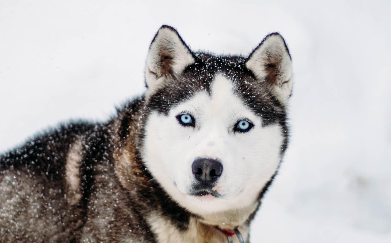 faire du traineau à chiens au Québec