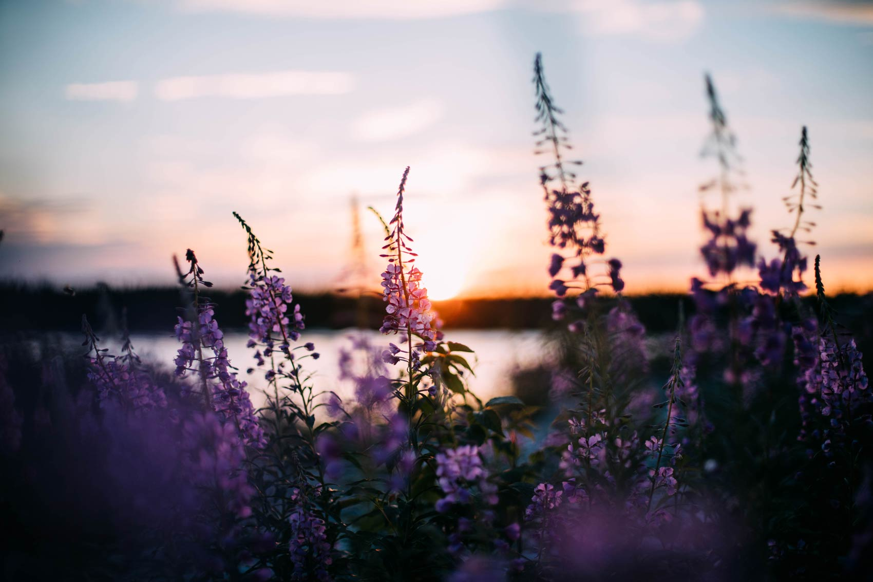 fleurs sauvages Baie-James Québec