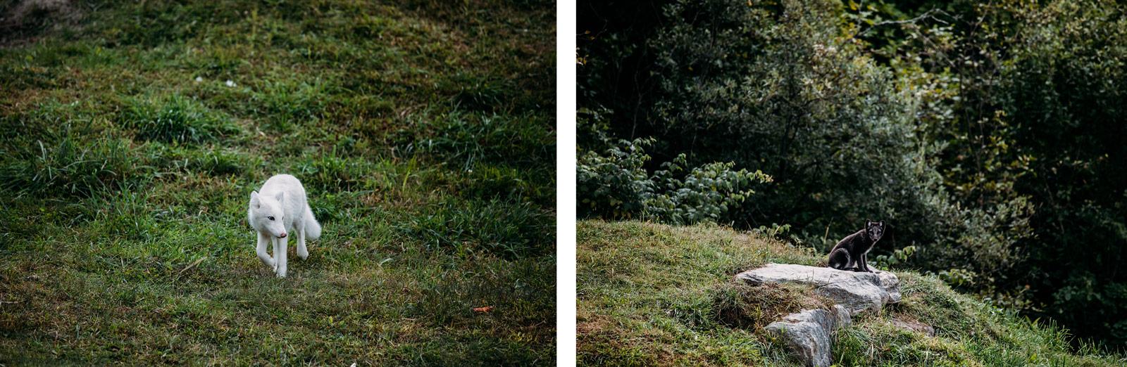 renards arctiques parc oméga