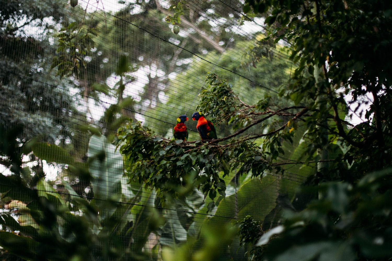 perruches du jardin botanique deshaies