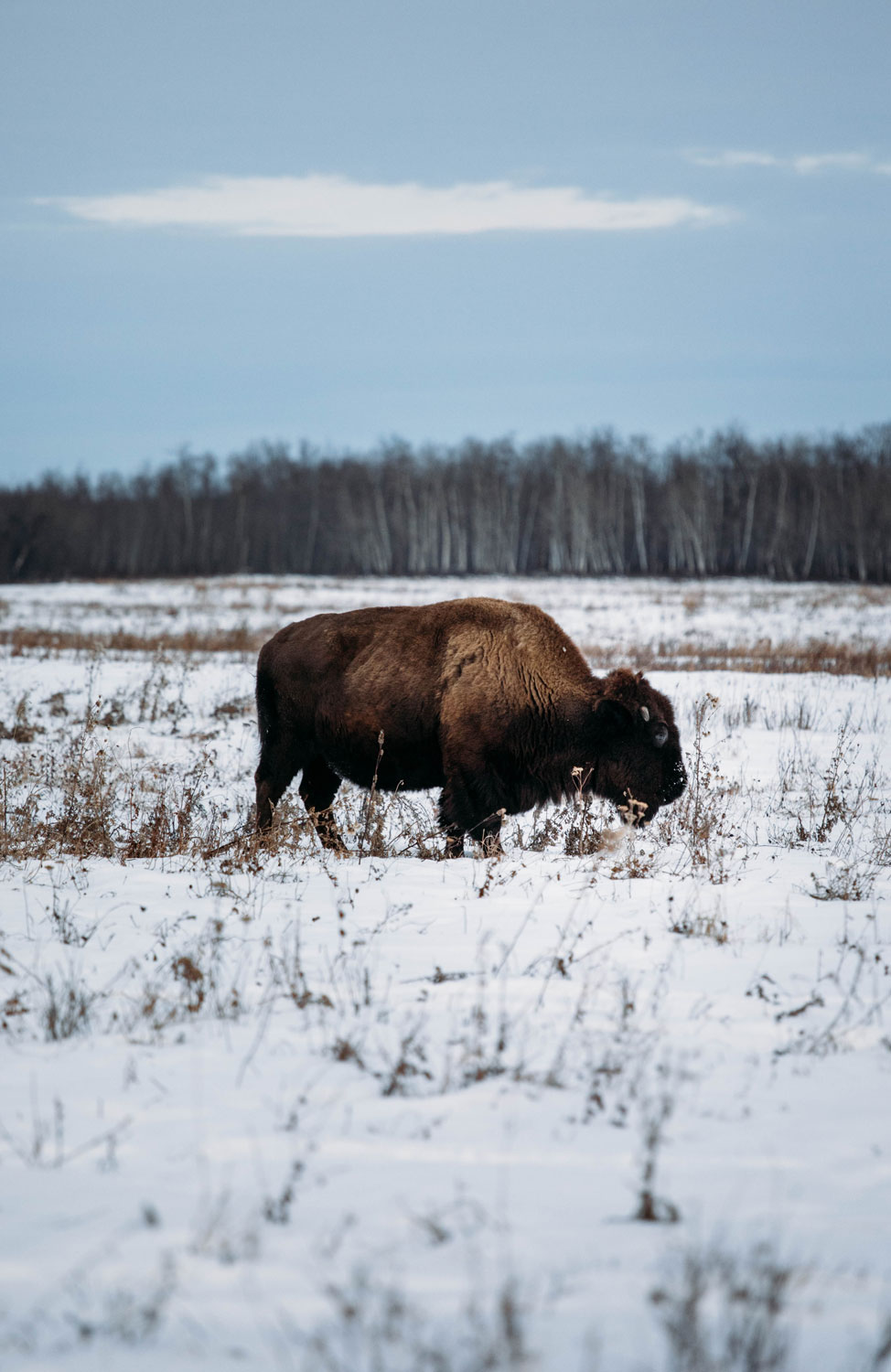 bisons-elk-island-national-park