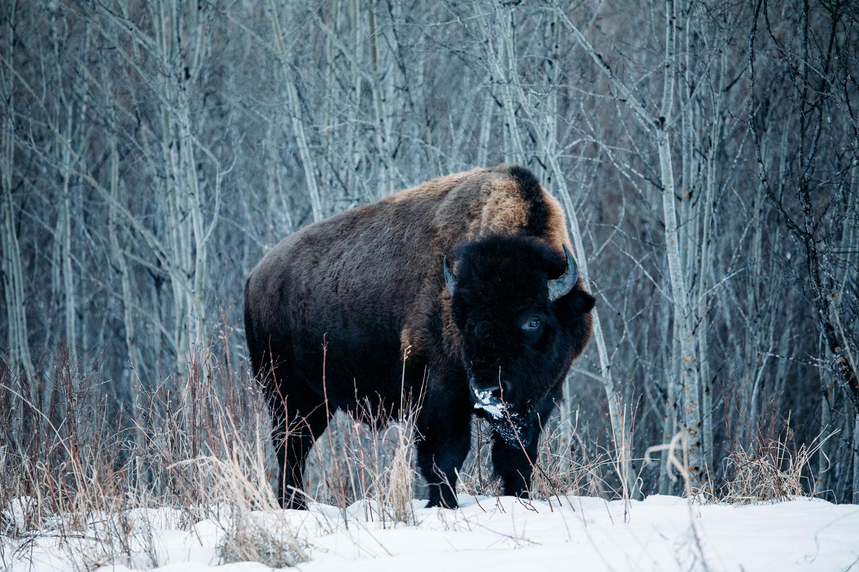 observation-bison-edmonton-canada
