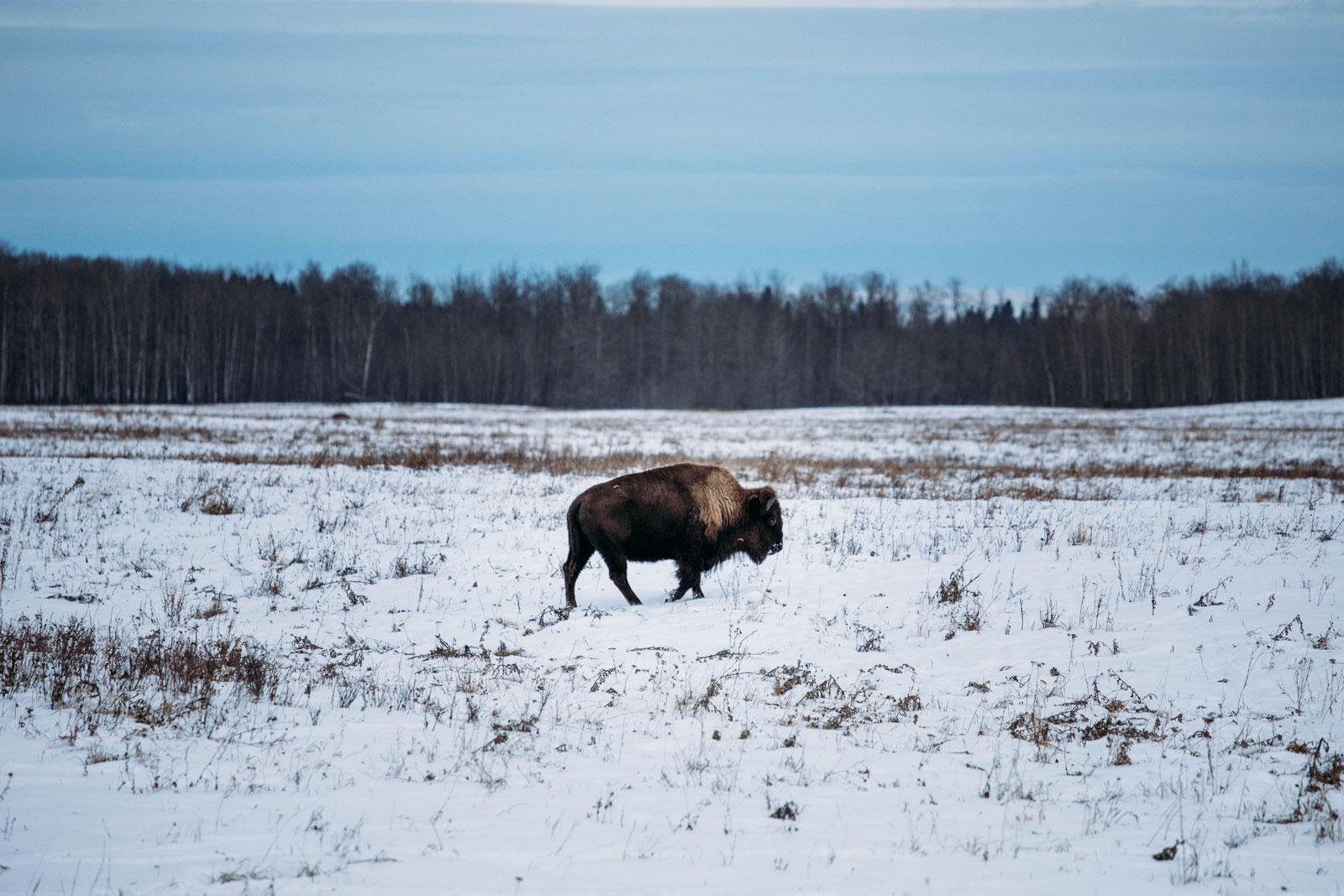 ou voir des bisons au Canada