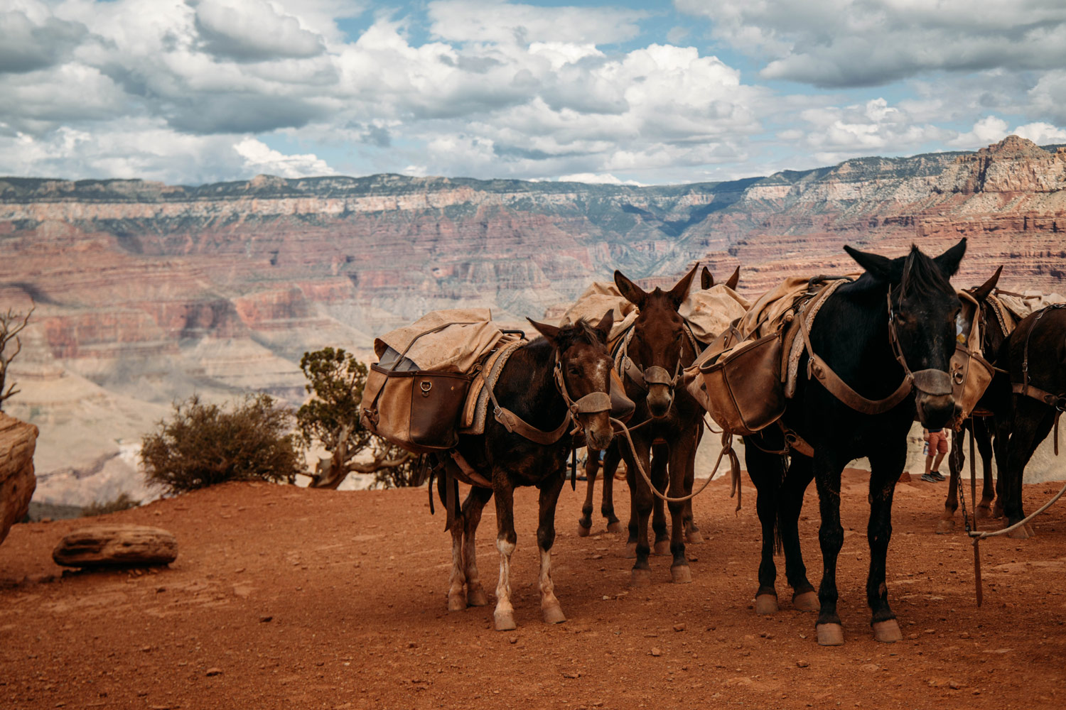 descendre à mules le grand canyon