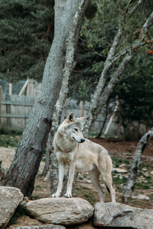 loups du Gévaudan que voir en Lozère