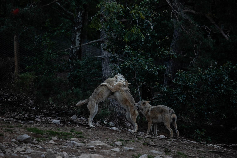 observation meute loups Gévaudan