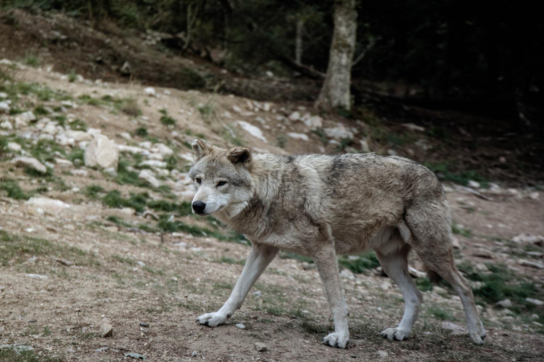 observer les loups du Gévaudan Aubrac
