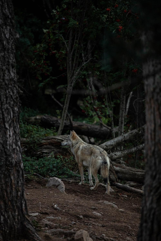 parc animalier loups du Gévaudan Lozère
