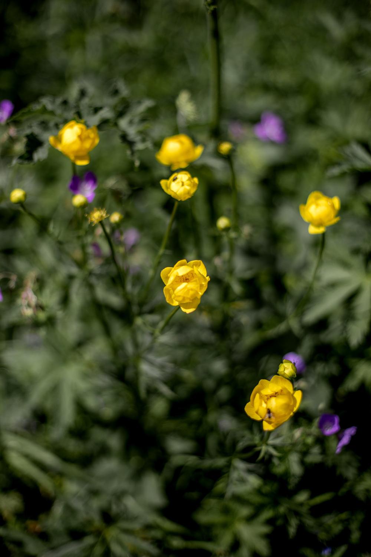 trolle d'europe fleur sauvage jaune du jura