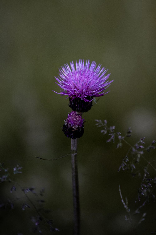 fleur-alpine-suisse