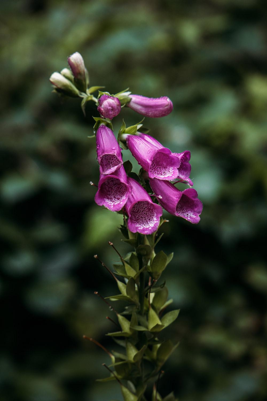 orchidée sauvage des pyrénées ariégeoises